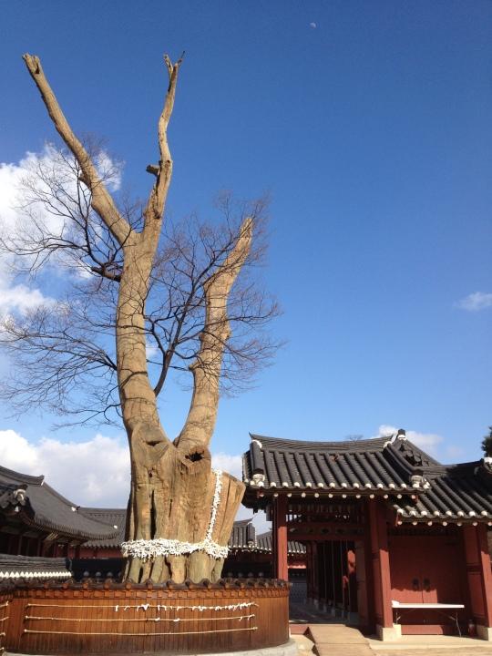 ไกด์บอกว่านี่เป็น guarding tree ประมาณว่าเป็นต้นไม้ศักดิ์สิทธิ์ปกป้องพระราชวังอายุร้อยๆปีแล้วครับ